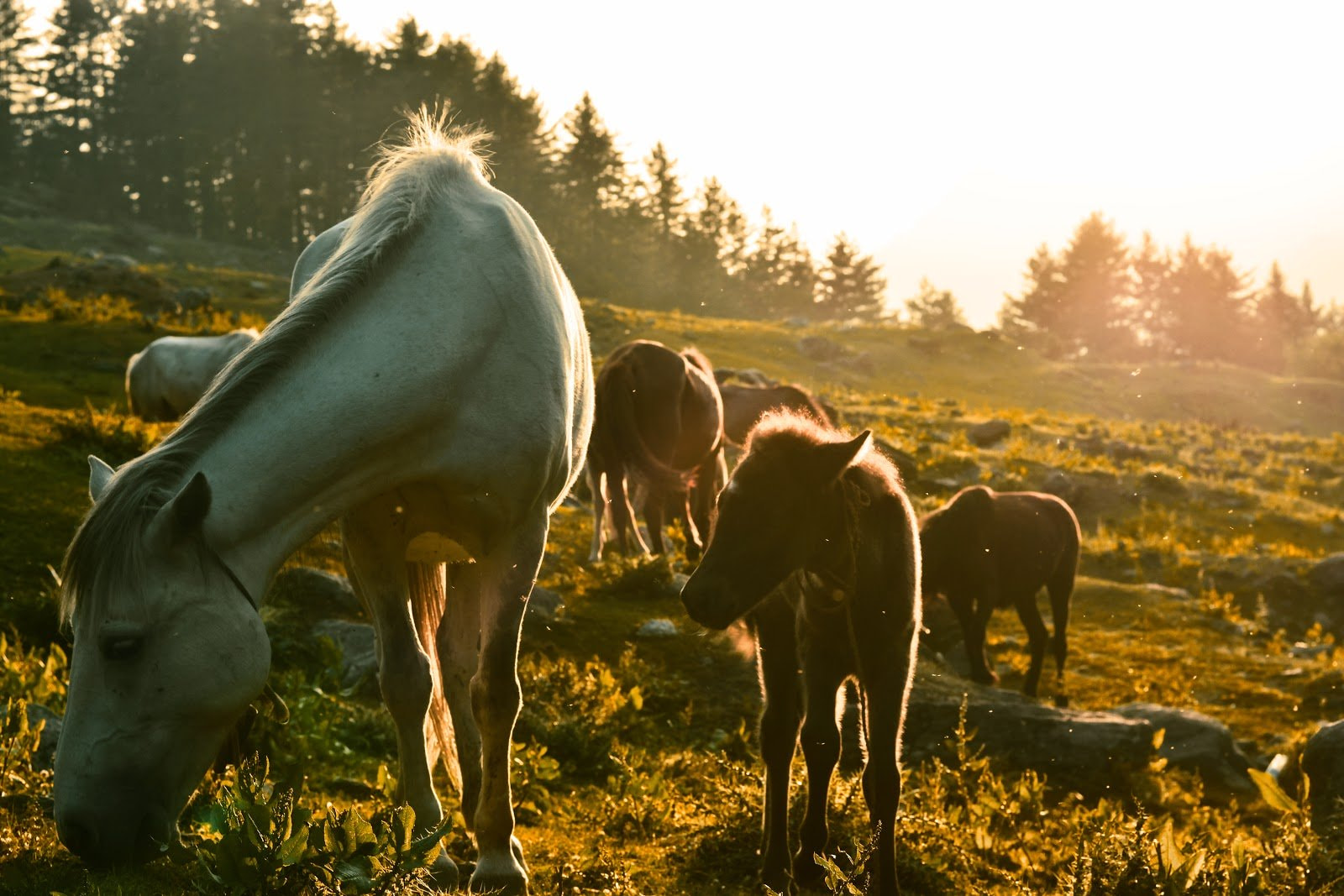 Golden hour photography of horses grazing in a field by Nikhil Kumar