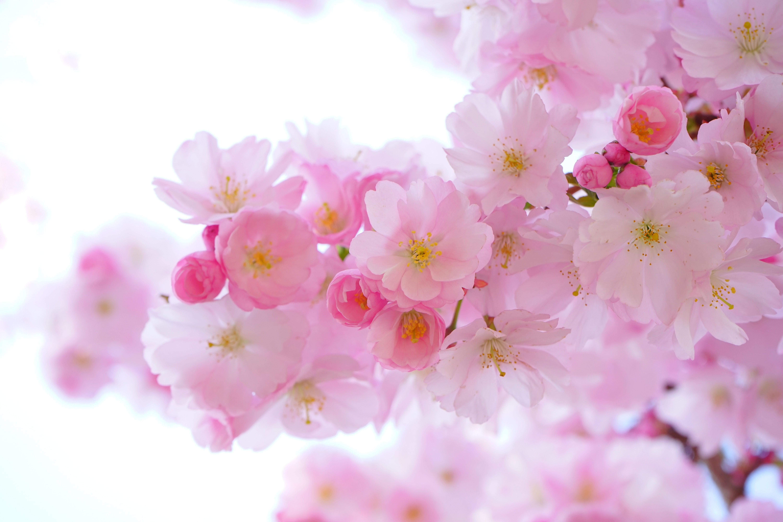 おしゃれな花などの春の壁紙特集 フリーのpc スマホ用高画質画像まとめ