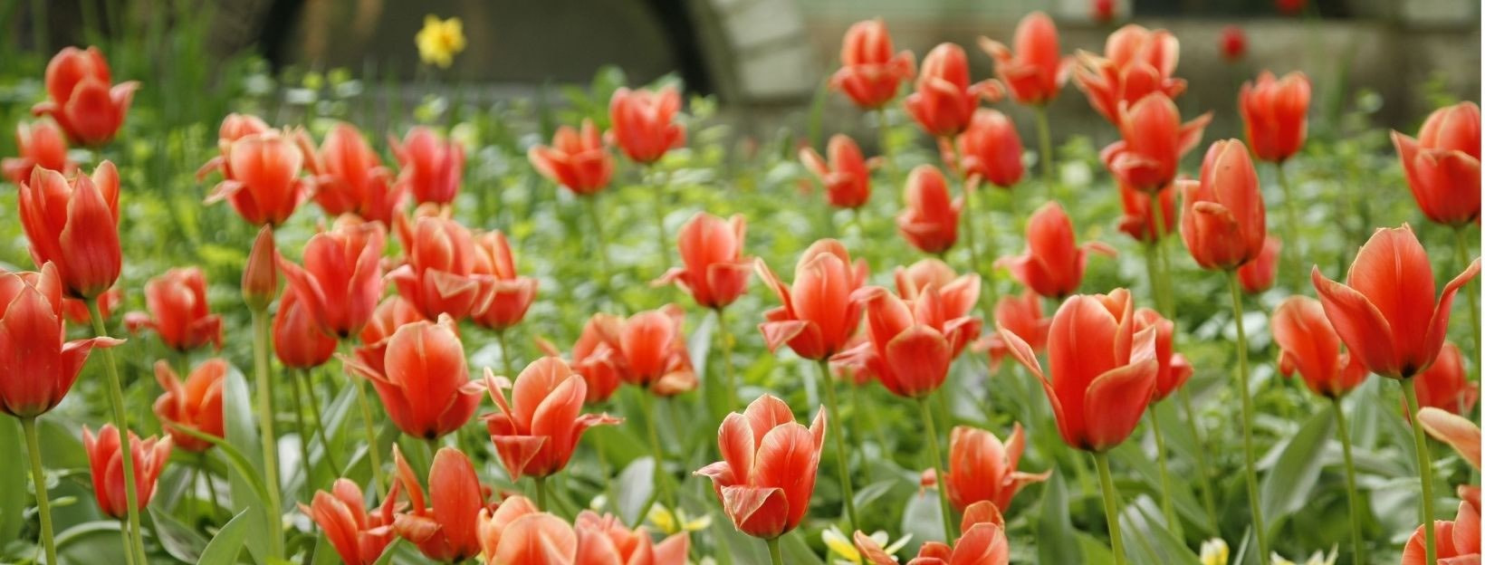 BANNER-Canva-MAEN4uofweo-red-tulips-field