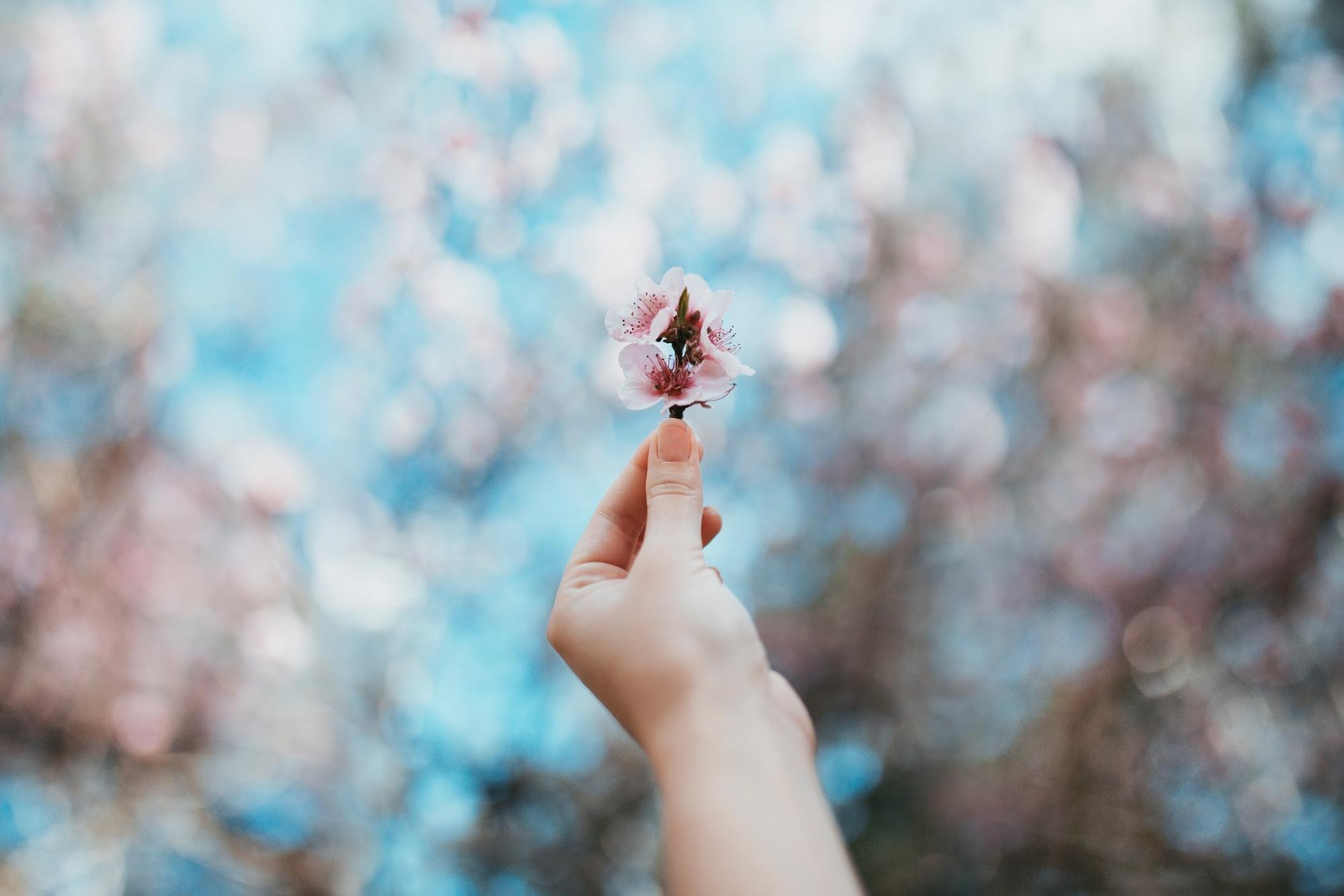 Cherry blossom bokeh background