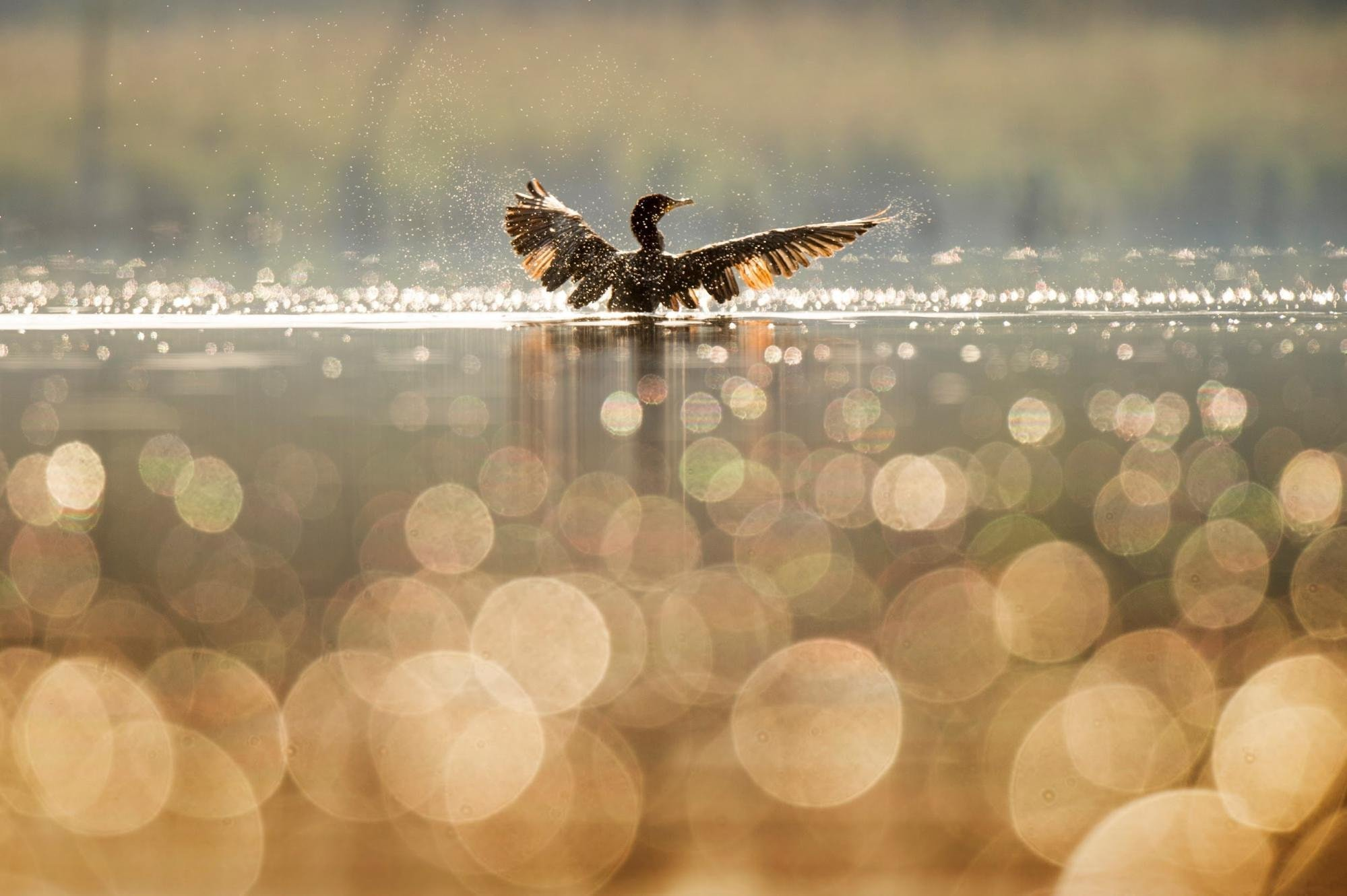 Duck bokeh effect in the foreground
