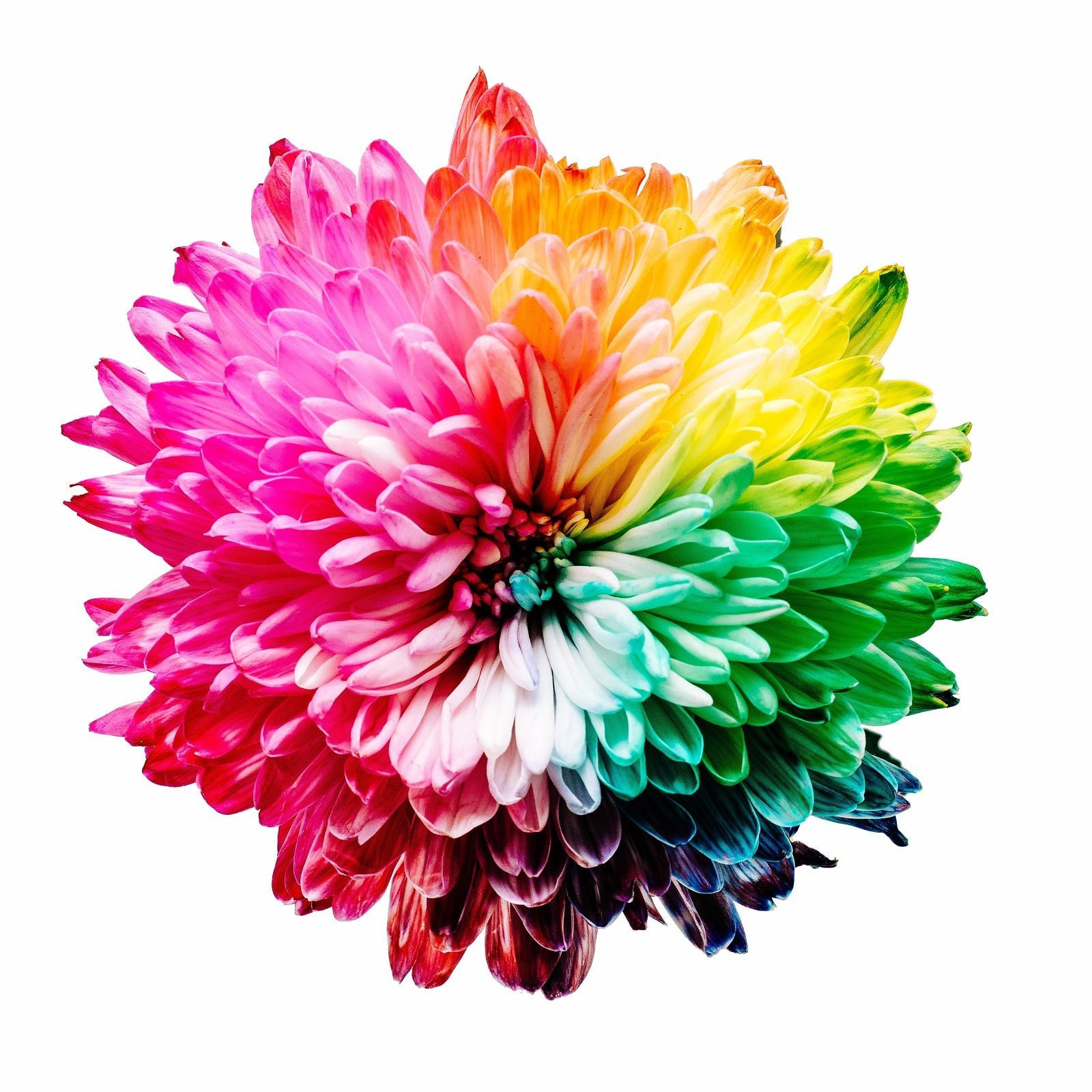 Flower dyed in rainbow colors by Sharon Pittaway