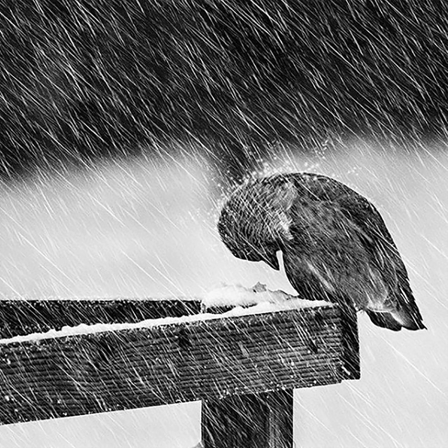 A bird with its head bowed against the rain by Mikael Sundberg
