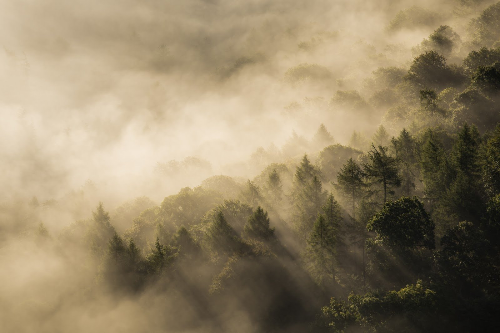 Golden misty forest by Rebecca Prest