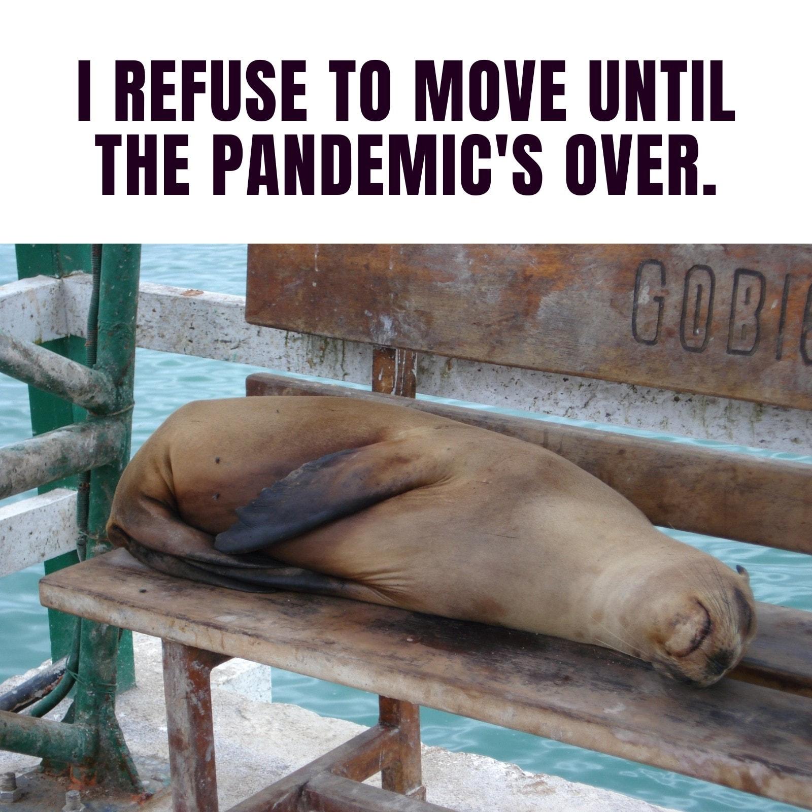 Sea Lion Pandemic Square Animal Meme