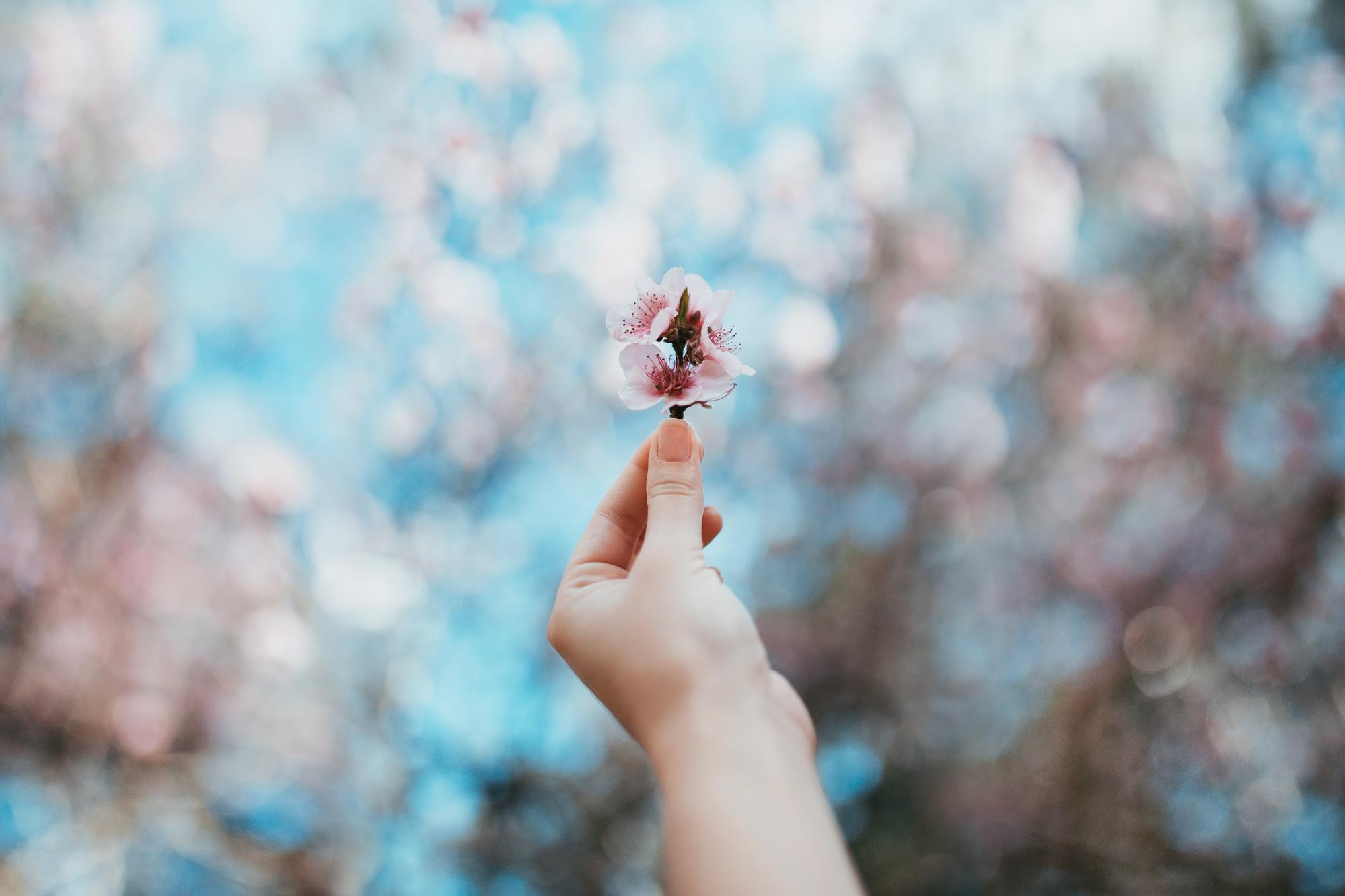 Cherry blossom bokeh background