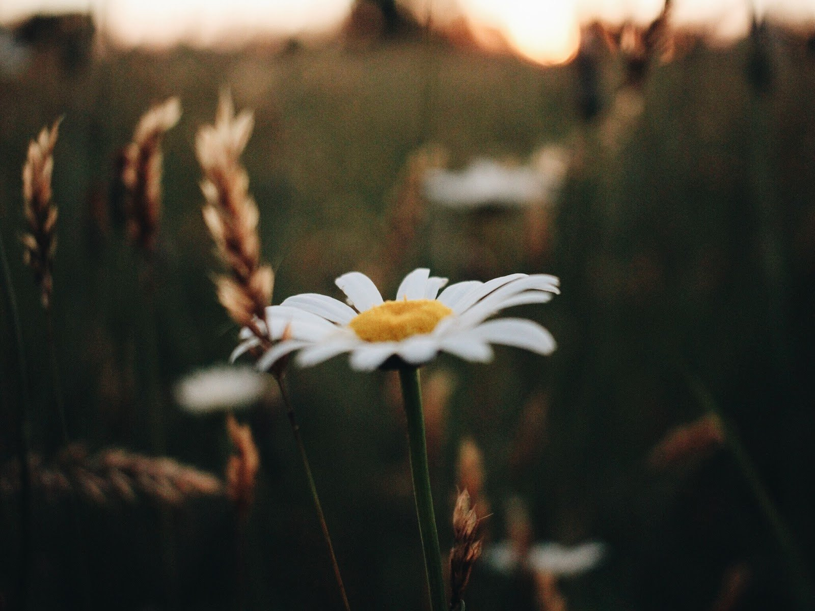 Daisy photo by Madison Bersuch
