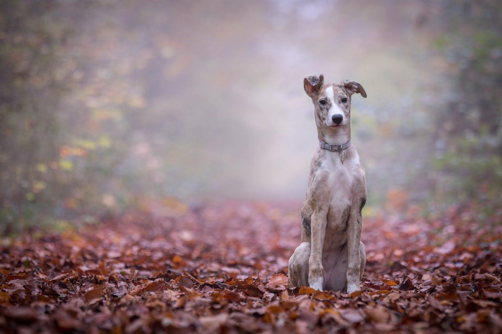 Dog standing amongst autumn leaves by Ben Hanson