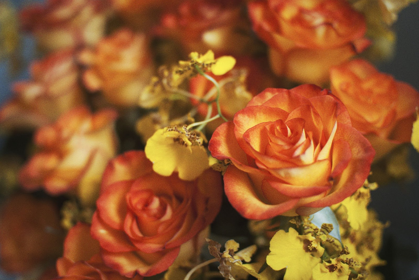 Orange and yellow roses by R.F. Pereira
