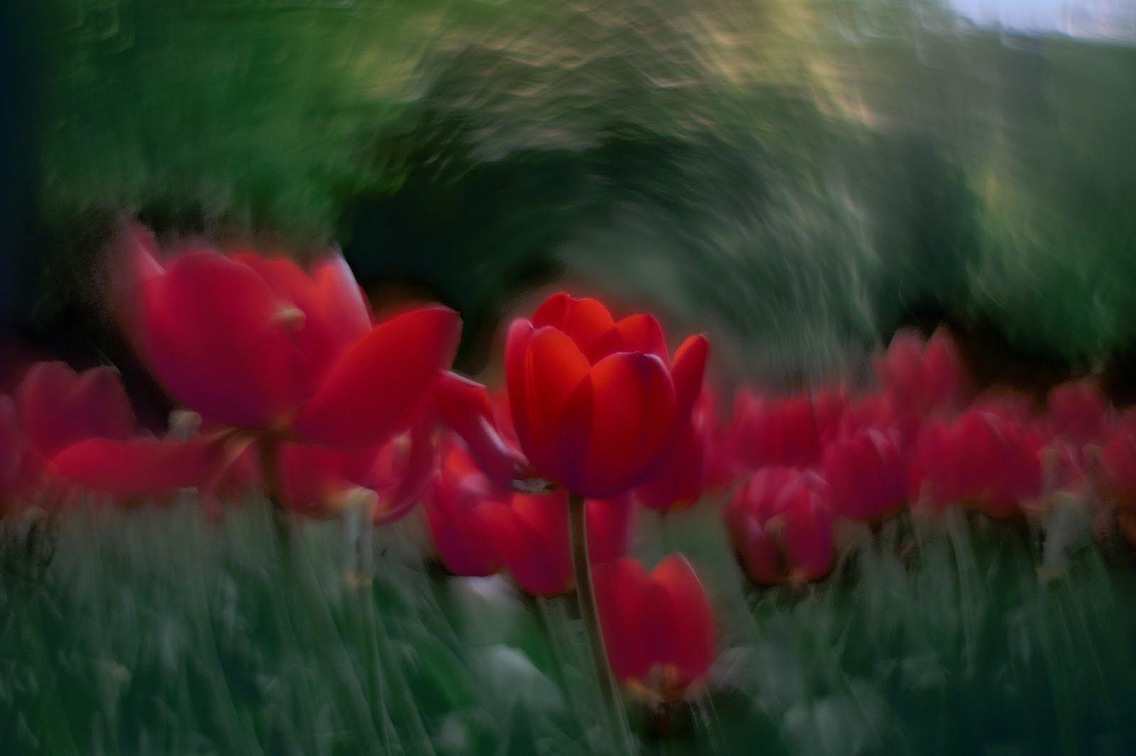Example of curvilinear bokeh photo of tulips by Artur Malinowski