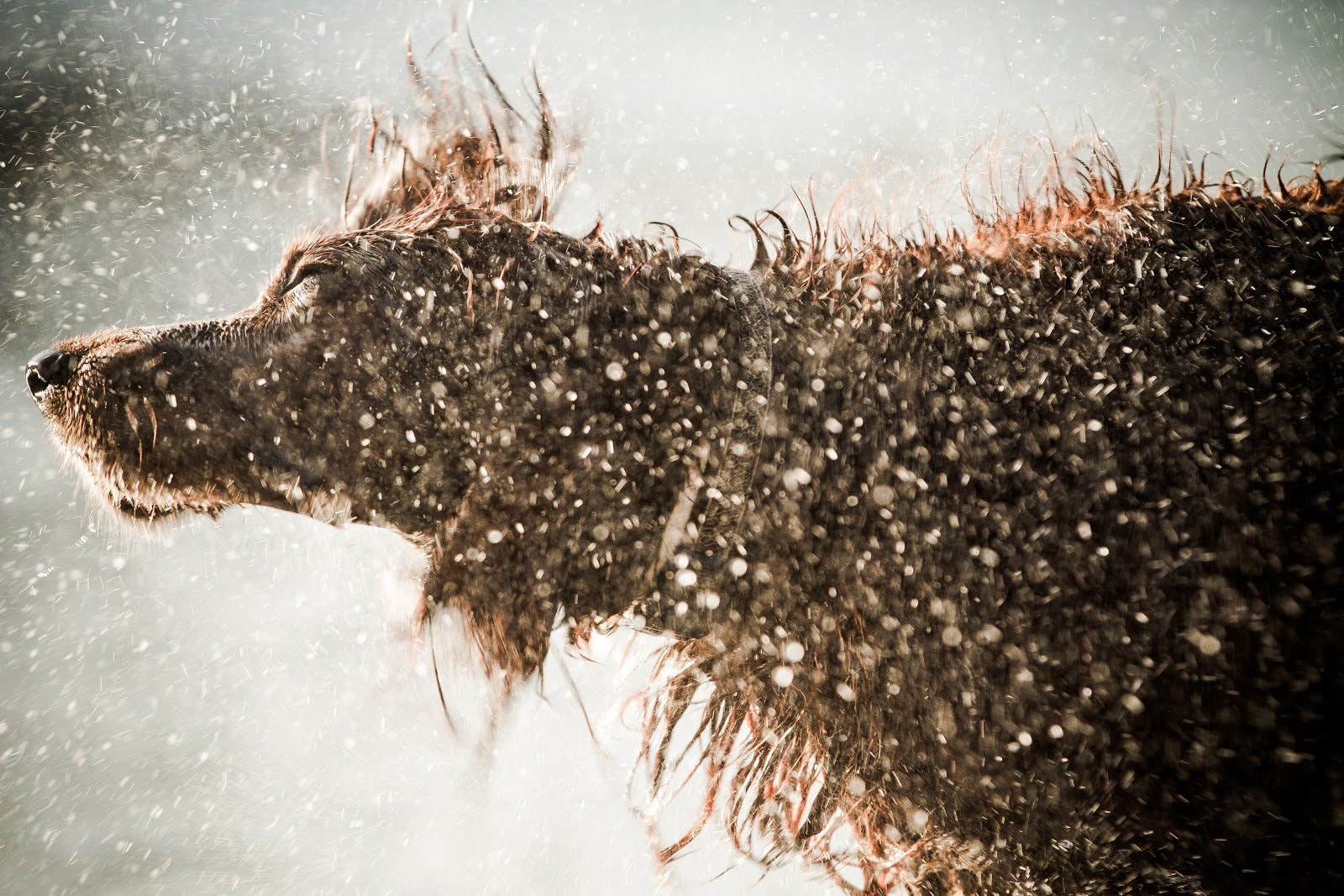 Dog shaking off water from its fur by Murucutu