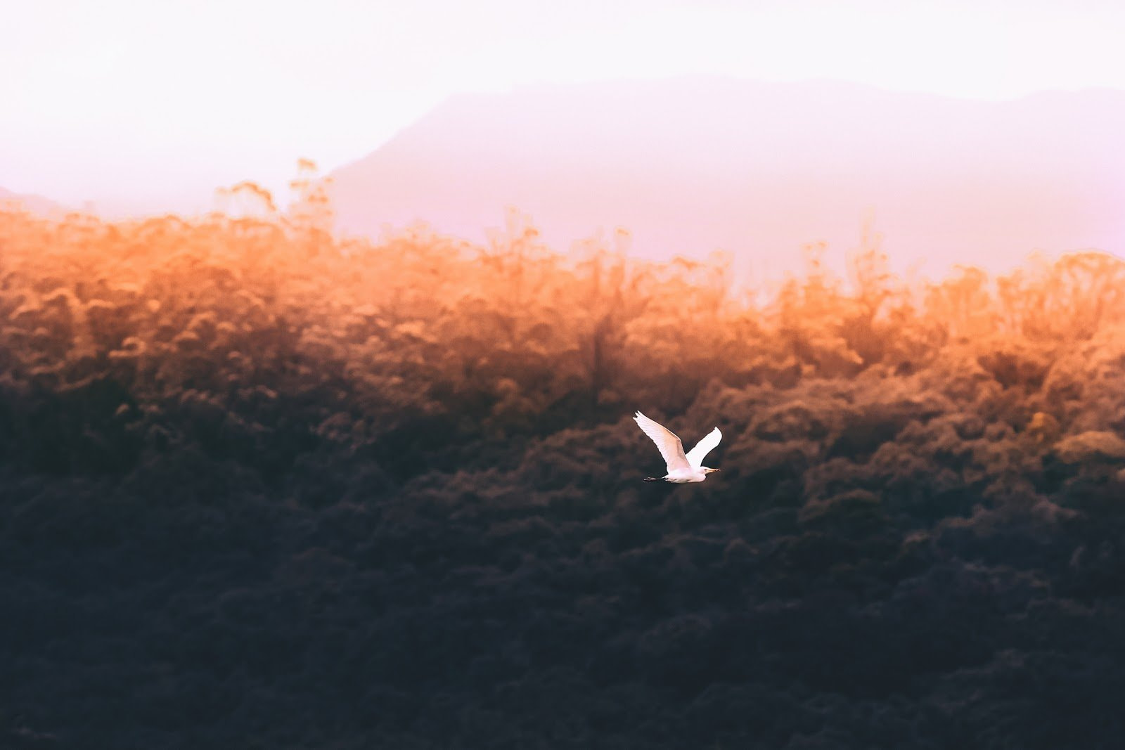 A bird flying over a forest during sunset by Ameen Fahmy