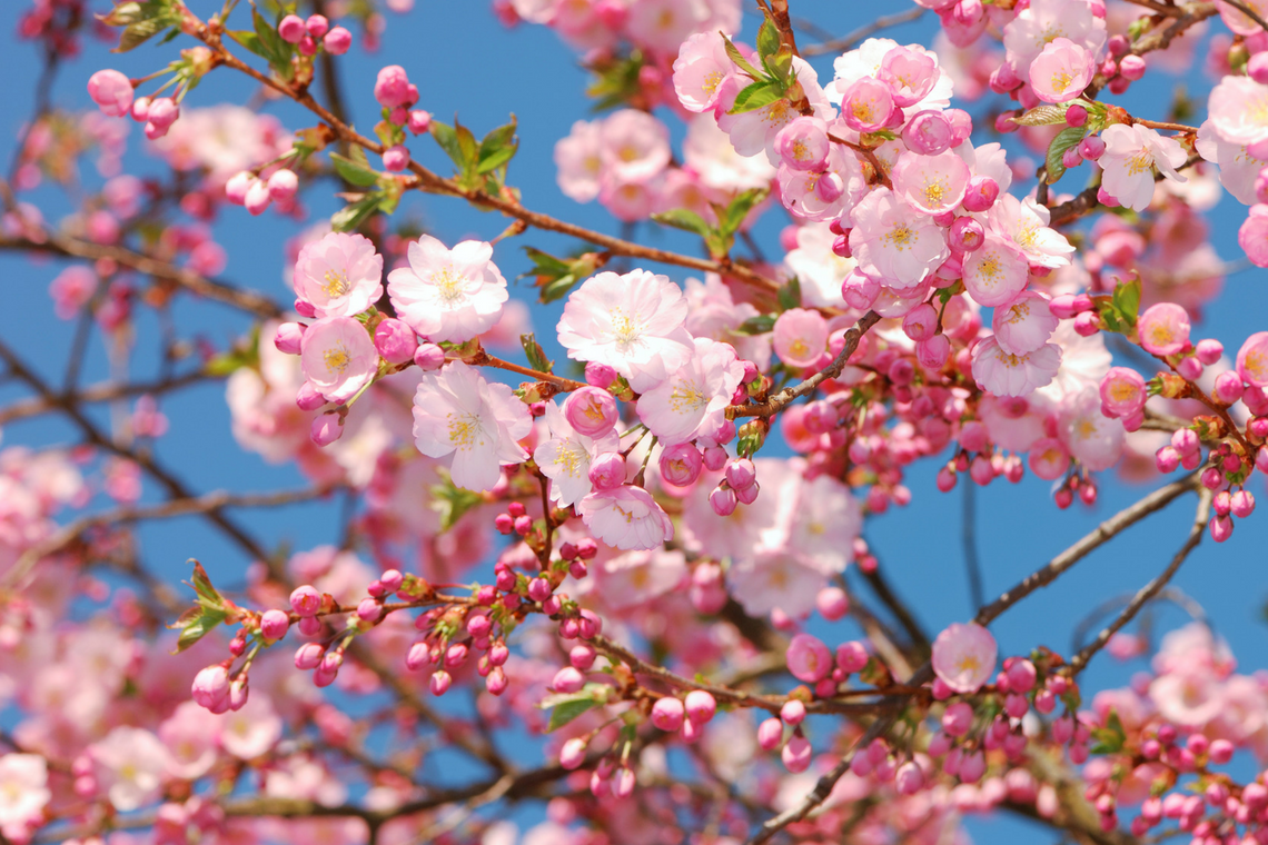 Color Combination Cherry Blossoms Canva S Design Wiki